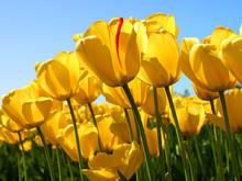 220x220 1368895528438 tulips