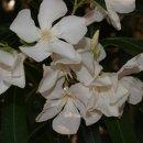 130x130 sq 1327543708490 whiteflowers