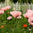 130x130 sq 1309716095143 highrespinkpoppies