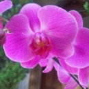 130x130 sq 1369582246358 lavender phaelenopsis