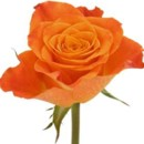 130x130 sq 1369592544134 rose orange
