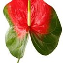 130x130 sq 1369592557085 anthurium obake