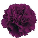 130x130 sq 1369592565684 carnation purple