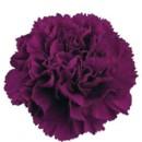 130x130 sq 1369592565684 carnation purple