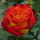 130x130 sq 1369778818595 circus rose