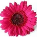130x130 sq 1369778833279 gerbera hot pink