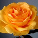130x130 sq 1369778855097 dark yellow rose