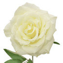 130x130 sq 1369778866105 eskimo white rose