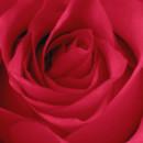 130x130 sq 1369779110814 freegreatpicture.com 26180 hd rose photo