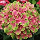 130x130 sq 1369779122244 pink and green hydrangea
