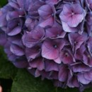 130x130 sq 1369779141738 purple hydrangea