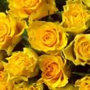 130x130 sq 1369779153498 yellow roses dark yellow