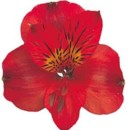 130x130 sq 1369779276624 alstroemeria red