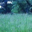 130x130 sq 1369939451470 blue grass
