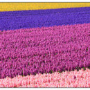 130x130 sq 1369939511803 dutch flower field