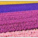 130x130 sq 1369939511803 dutch flower field