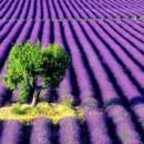 130x130 sq 1369940039252 lavender field