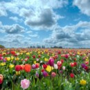 130x130 sq 1369940062821 mixed tulip field