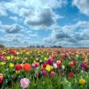 130x130 sq 1369940062821 mixed tulip field