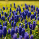130x130 sq 1369940080194 muscari fields