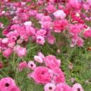130x130 sq 1369940096350 poppy field