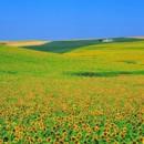 130x130 sq 1369940175518 whoa sunflowers