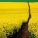 130x130 sq 1369940193387 yellow field