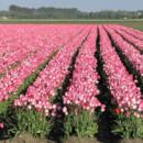 130x130 sq 1369940371870 pink tulip field