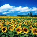 130x130 sq 1369940518688 sun flower field