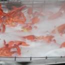 130x130 sq 1480691875075 lobster vat 2