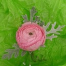 130x130 sq 1400841686951 boutonniere pink ranunclus  dusty mille