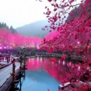 130x130 sq 1426317756579 cherry blossom lake sakura japan