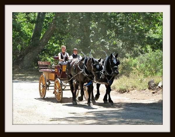 photo 3 of Canyon Shadow Percherons & Carriages