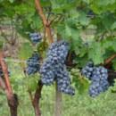 130x130 sq 1401406608567 grape