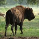 130x130 sq 1377888453492 bison