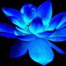 130x130 sq 1354422005061 blueladylotusflower