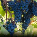 130x130 sq 1383657524430 grape