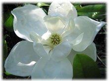 220x220_1213639105170-magnolias(2)