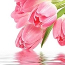 130x130 sq 1451859105 7406bfc4fe3993e0 tulips pink with water
