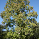 130x130_sq_1374700247051-magc-625-1111-dawn-redwood-4x6