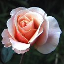130x130 sq 1235616489620 rosey