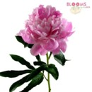 130x130 sq 1413915574047 hot pink peony   single stem