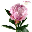 130x130 sq 1413915578130 light pink peony   single stem