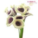 130x130 sq 1413916659113 picasso calla lily