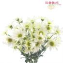 130x130 sq 1413917277325 pompon daisy white