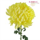 130x130 sq 1413917298781 yellow football mum   one stem