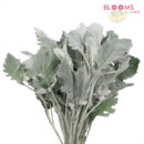 130x130 sq 1413917365789 dusty miller