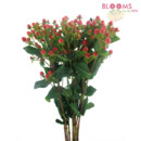 130x130 sq 1413917385084 hypericum red