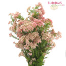 130x130 sq 1413917415955 rice flower   pink