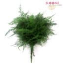 130x130 sq 1413918710383 plumosus fern
